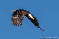 Diving_Eagle.jpg