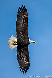 Soaring_Eagle.jpg