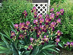 Iris41.jpg