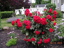 Red-Roses3.jpg