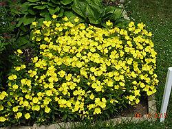 Yellow-Primrose.jpg
