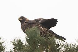 Golden_Eagle4.jpg