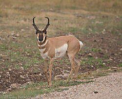 Pronghorn_Sheep.jpg
