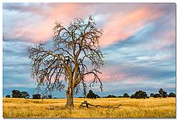 liberty-oak.jpg