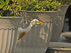 Peek-A-Boo_Cattle_Egret.jpg