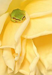 Rosy_Treefrog.jpg