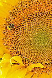 The_Bee_And_The_Sunflower.jpg