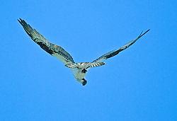 V_Wing_Osprey.jpg