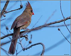 Female_Cardinal_02-27-162.jpg