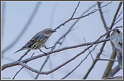 yellowbird-pjh_5179.jpg
