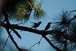 bluebirds-1.jpg