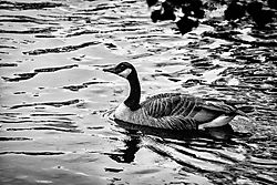 canadian_goose_on_river-1.jpg