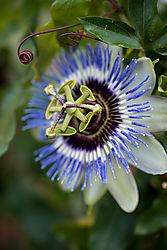 passion_fruit_flower_1_of_1_.jpg