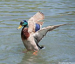 D700-180mm_duck-1.jpg