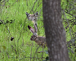 0DH0669Coyote_and_jackrabbit.jpg