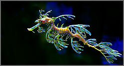Australias_Leafy_Seadragon.jpg