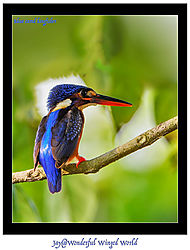 Blue-eared-kingfisher_20160606-15389--_2_.jpg