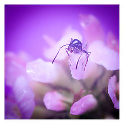 Ant-on-Flower-Close2a.jpg