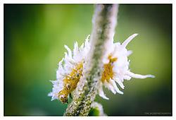 Cotton-Caterpillar.jpg