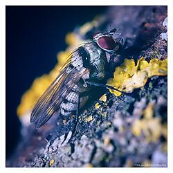 Fly-on-Lichen.jpg