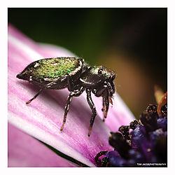 Jumping-Spider-Flower-1.jpg