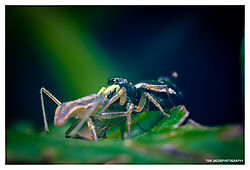 Jumping-Spider-and-his-Lunch_01.jpg