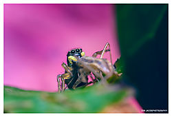 Jumping-Spider-and-his-Lunch_02.jpg