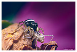 Jumping-Spider-and-his-Lunch_05.jpg