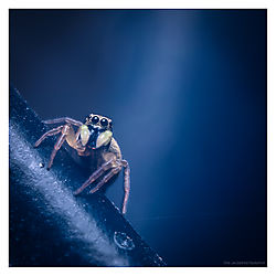 Jumping-Spider-on-Bicycle.jpg