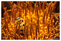 Ladybug-and-Pollen.jpg
