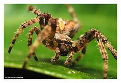 Spider-on-Leaf_side.jpg