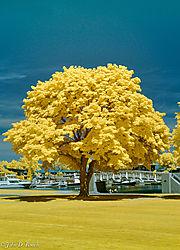 Tree_near_the_Marina_in_June-3.jpg