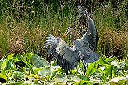 Heron15.jpg