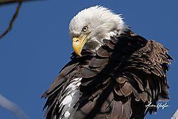 Bald_Eagle_850_5863_32320-1.jpg