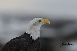Bald_Eagle_in_snow_Parker_CO-1.jpg