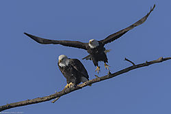 Bald_Eagles_Mating_pair_12-31-17_2.jpg