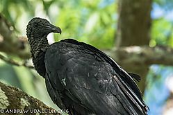 Black_Vulture_Rio_Frio_Costa_Rica.jpg