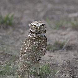 Burrowing_Owl_51619_CU.jpg