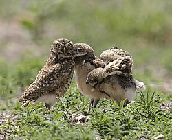 Burrowing_Owl_family_scene_kiss.jpg