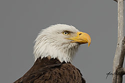 Cropped_close_up_of_Bald_Eagle_St_Vrain_03102021.jpg