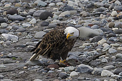 Eagle_Gaze_Nooksack.jpg