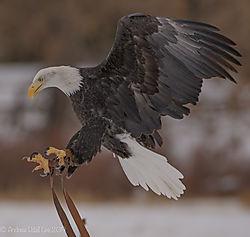 Eagle_Landing_5.jpg