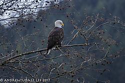 Eagle_in_a_tree_420mm.jpg