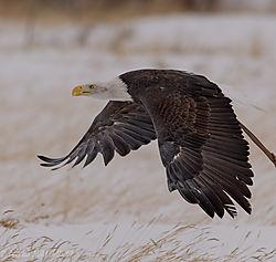 Eagle_in_flight_profile_3.jpg