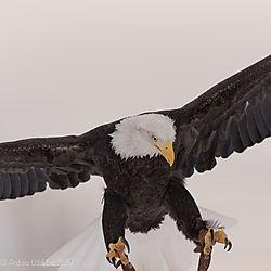 Eagle_landing_close_up.jpg