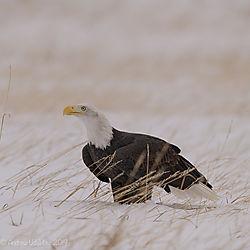 Eagle_lin_the_snow.jpg