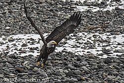 Eagles_Skagit_BE_taking_off.jpg