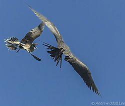 Great_Frigate_Bird-1.jpg