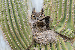 Great_horned_owl_nest_in_cactus_3-9-20.jpg