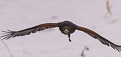 Harris_Hawk_flight_head_on_11_getting_really_close.jpg